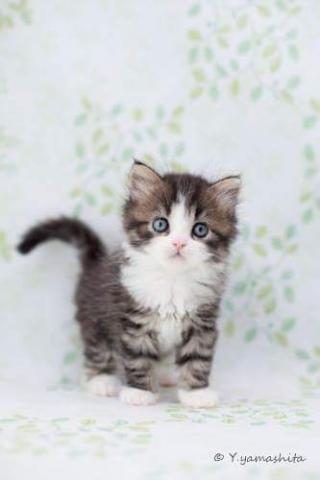 フォールド 耳 スコティッシュ 立ち スコティッシュフォールド(立ち耳)【東京都・女の子・2021年4月13日・ブルータビー&ホワイト】とっても元気で可愛い立ち耳の女の子です♥|みんなの子猫ブリーダー(子猫ID:2106