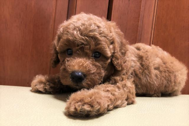 ミディアム プードル ブリーダー プードルブリーダー(エスプリドッグ)栃木の子犬販売